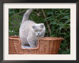 Scottish Fold Blue-Cream Cat Art by De Meester