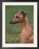 Fawn Whippet Looking Down Art by Adriano Bacchella