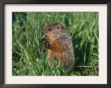 Woodchuck, Minnesota, USA Prints by Lynn M. Stone