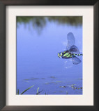 Southern Hawker Dragonfly Male Hovering Over Pond, UK Print by Kim Taylor