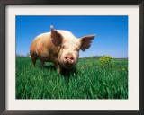 Domestic Pig Portrait, Yorkshire Breed Prints by Lynn M. Stone