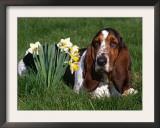 Basset Hound, Amongst Daffodils, USA Prints by Lynn M. Stone