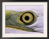 Great Egret, Close up of Eye, Pusztaszer, Hungary Art by Bence Mate