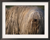 Puli / Hungarian Water Dog Portrait Prints by Adriano Bacchella