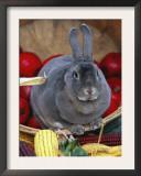 Domestic Rabbit, Mini Rex Breed Print by Lynn M. Stone