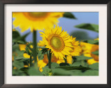 Sunflowers, Illinois, USA Posters by Lynn M. Stone