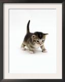 Domestic Cat, 3-Week Ticked-Tabby Kitten Poster by Jane Burton