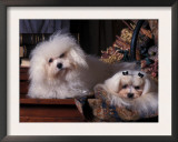 Domestic Dogs, Two Maltese Dogs, One Groomed and the Other Ungroomed Art by Adriano Bacchella