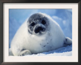 Harp Seal Pup on Ice at Start of Moult, Magdalen Is, Canada, Atlantic Prints by Jurgen Freund