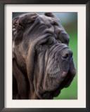 Neopolitan Mastiff Face Portrait Print by Adriano Bacchella