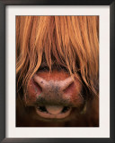 Highland Cattle, Head Close-Up, Scotland Prints by Niall Benvie