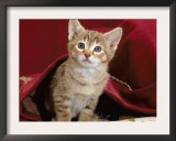 Domestic Cat, Portrait of Oriental Brown Spotted Tabby Kitten Under Red Velours Curtain Posters by Jane Burton