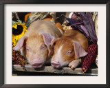 Domestic Piglets Sleeping, USA Art by Lynn M. Stone