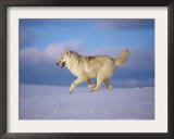 Arctic Grey Wolf, Running Through Snow, USA Print by Lynn M. Stone