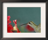 Broad Billed Hummingbird, Female Feeding on Petunia Flower, Arizona, USA Posters by Rolf Nussbaumer