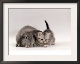 Domestic Cat, Silver Spotted Kitten with Silver Lop Eared Rabbit, Colour Coordinated Prints by Jane Burton