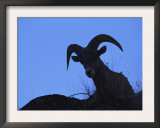 Bighorn Sheep, Silhouette of Ram, Yellowstone National Park, Wyoming, USA Posters by Niall Benvie