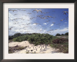 Tern Colony on Tubbataha Reef Philippines Posters by Jurgen Freund