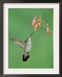 Black Chinned Hummingbird, Female Feeding on Penstemon Flower, Arizona, USA Prints by Rolf Nussbaumer