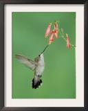 Black Chinned Hummingbird, Female Feeding on Penstemon Flower, Arizona, USA Prints by Rolf Nussbaumer