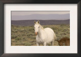 Mustang / Wild Horse, Grey Mare with Colt Foal Stretching, Wyoming, USA Adobe Town Hma Posters by Carol Walker