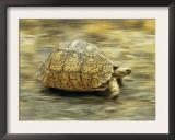 Leopard Tortoise (Geochelone Pardalis) Running Art by Jane Burton