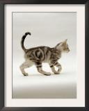 Domestic Cat, 14-Week, Silver Tabby Male Kitten Posters by Jane Burton