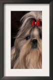 Shih Tzu Portrait with Hair Tied Up, Showing Length of Facial Hair Print by Adriano Bacchella