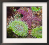 Giant Green Anemones, and Ochre Sea Stars, Olympic National Park, Washington, USA Posters by Georgette Douwma