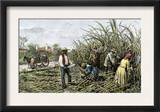 Black Slaves Harvesting Sugar Cane on a Plantation in the U.S. South, c.1800 Posters