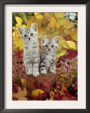 Domestic Cat, 8-Week, Silver Tabby Kittens Among Heather and Autumnal Leaves Poster by Jane Burton