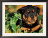 Rottweiler Puppy in Leaves Posters by Adriano Bacchella