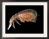 Hyperiid Amphipod from Korsfjorden, Norway, Caught at Around 350M, Deep Sea Atlantic Ocean Posters by David Shale