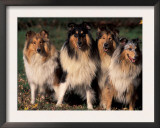 Domestic Dogs, Four Rough Collies Sitting Together Print by Adriano Bacchella