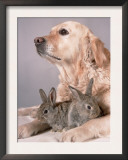 Golden Retriever, and Young Domestic Rabbits Posters by De Meester