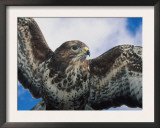 Female Common Buzzard with Wings Outstretched, Scotland Poster by Niall Benvie