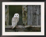 Barn Owl, in Old Farm Building Window, Scotland, UK Cairngorms National Park Prints by Pete Cairns