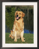 Domestic Dog Sitting Portrait, Golden Retriever (Canis Familiaris) Illinois, USA Prints by Lynn M. Stone