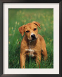 Pit Bull Terrier Puppy Prints by Adriano Bacchella