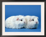 Two White Coronet Guinea Pigs Print by Petra Wegner