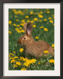 New Zealand Breed of Domestic Rabbit, Amongst Dandelions Poster by Lynn M. Stone