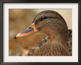 Female Mallard Head Close-Up, USA Art by Lawrence Michael