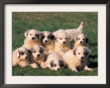 Domestic Dogs, Group of Eight Pyrenean Mountain Dog Puppies Prints by Adriano Bacchella