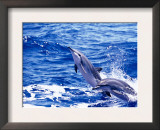 Leaping Clymene Dolphins, Gulf of Mexico, Atlantic Ocean Print by Todd Pusser