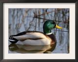 Mallard Duck Drake (Anas Platyrynchos) Spain Prints by Juan Manuel Borrero