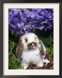 Baby Holland Lop Eared Rabbit, Amongst Hydrangeas, USA Prints by Lynn M. Stone