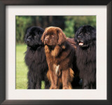 Domestic Dogs, Three Newfoundland Dogs Standing Together Prints by Adriano Bacchella