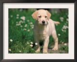 Young Labrador Retriever Portrait Art by Adriano Bacchella