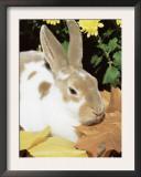 Mini Rex Domestic Rabbit, USA Prints by Lynn M. Stone