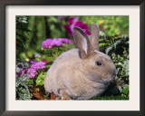Mini Rex Rabbit, USA Prints by Lynn M. Stone